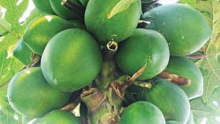 Carica-papaya