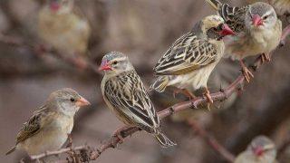 BIRD-queleas