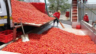 Tomato Processing Factory