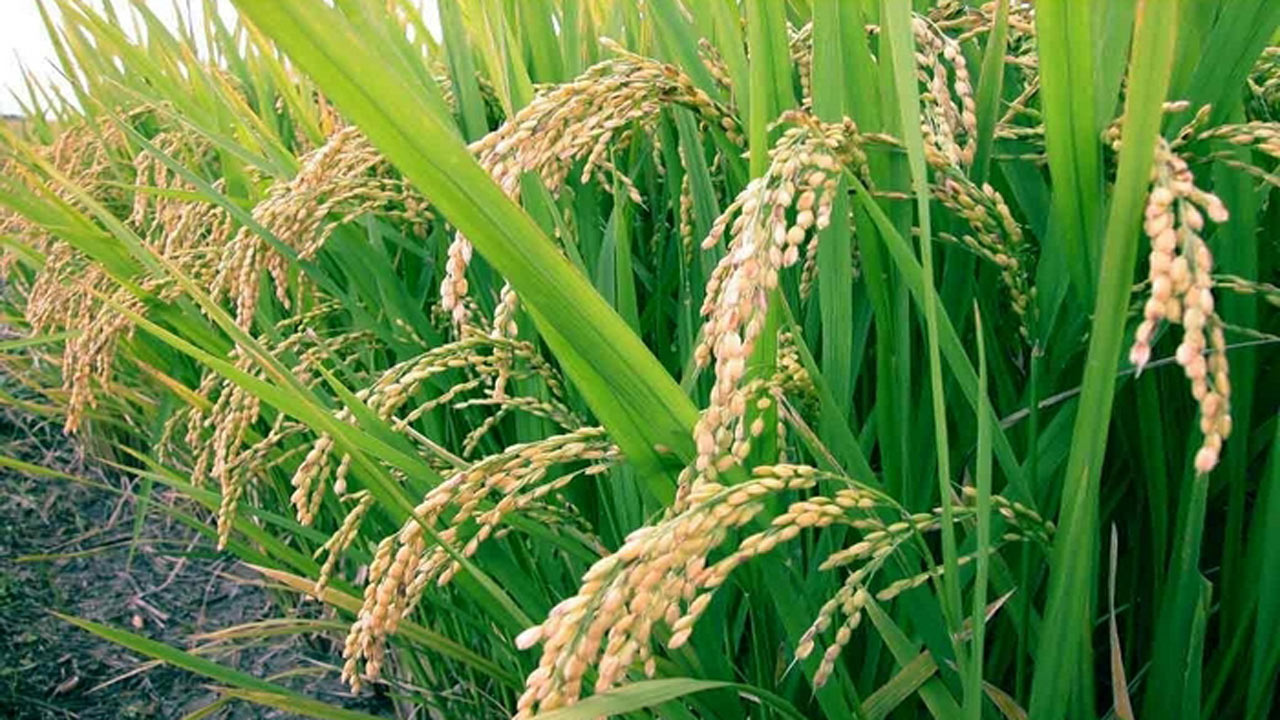 Dangote to launch 25000 hectares of rice mill in Nigeria