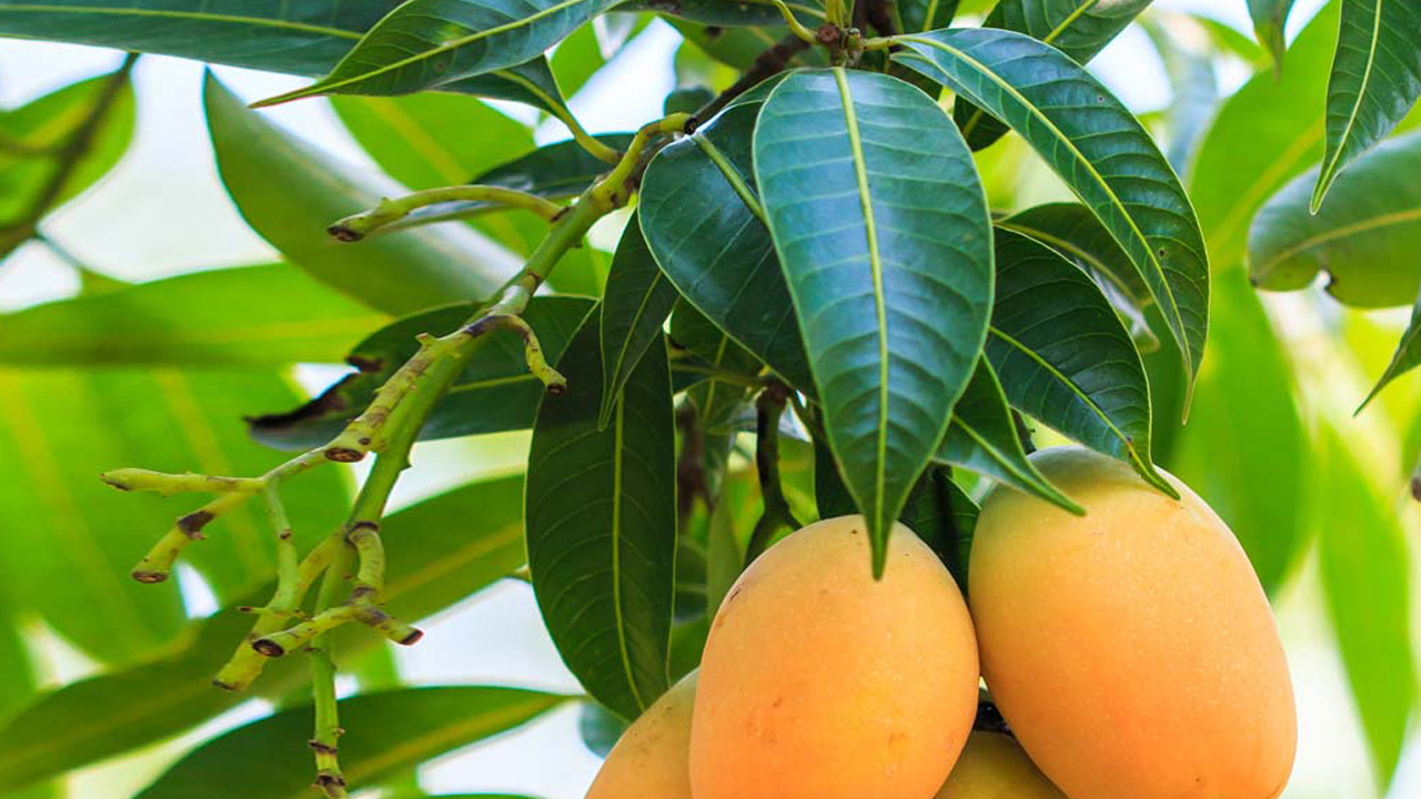 Can Mango Leaves Cure Diabetes High Blood Pressure