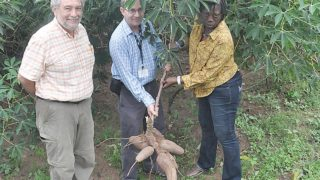 Cassava breeder from CIAT, Colombia, Dr. Hernan Ceballos (left), with IITA Cassava breeders, Peter Kulakow (middle) and Elizabeth Parkes, harvesting the new cassava varieties with higher pro-vitamin A, to fight micronutrient deficiency in Ibadan, Oyo State.