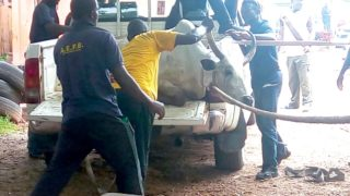 "Officials of Abuja Environmental Protection Agency (AEPA) ""arresting"" a cow ... recently"