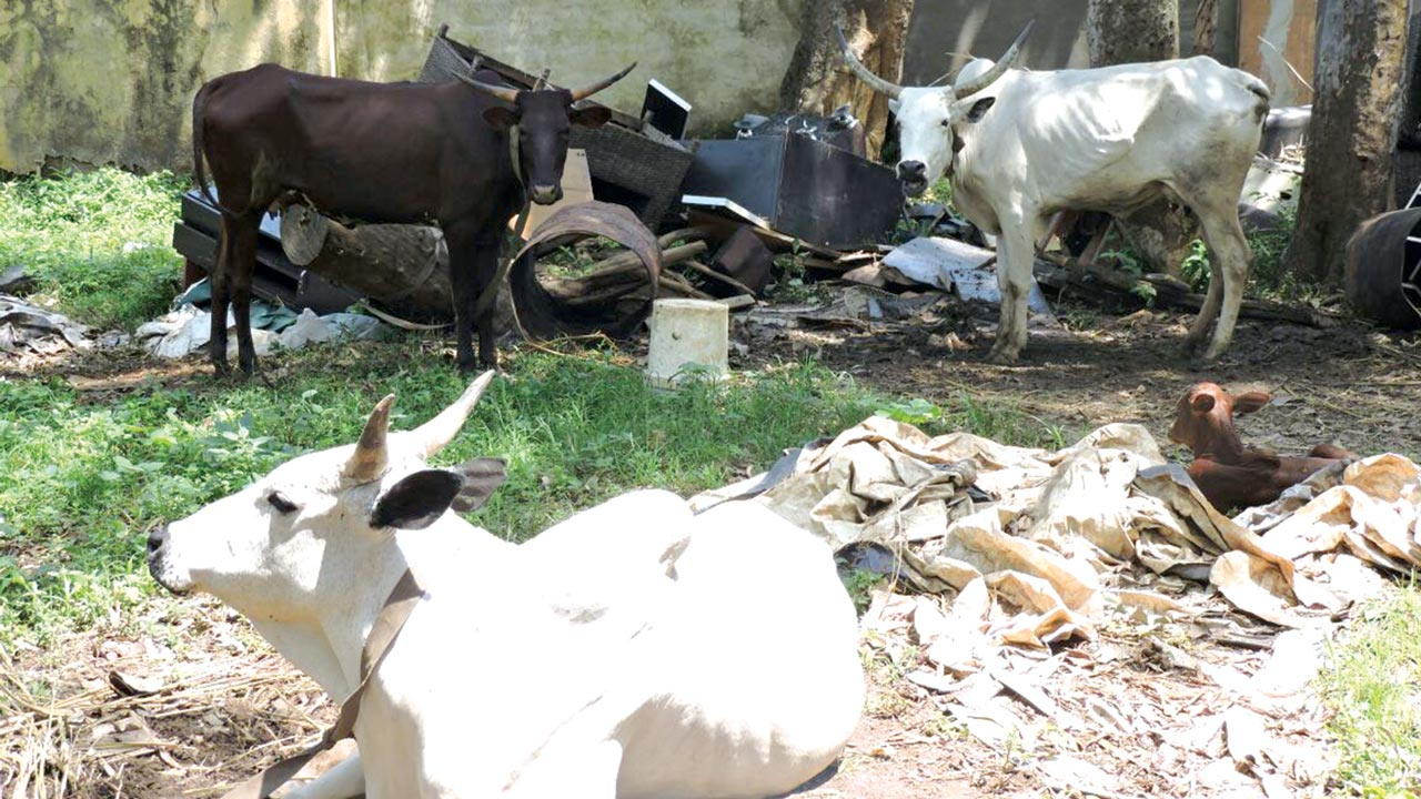 Arrested cattle at the premises of the Abuja Environmental Protection Agency (AEPA) PHOTOS: ITUNU AJAYI