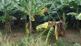 A virus infested Banana tree