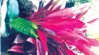 "Phormium tenax ""Dazzler"" purple  leaves is complemented by the green  of  Dieffernbachia plant"
