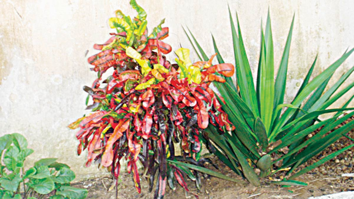 Color-splattered Croton shrub, makes a vibrant contrast to cool green of aloe plant.