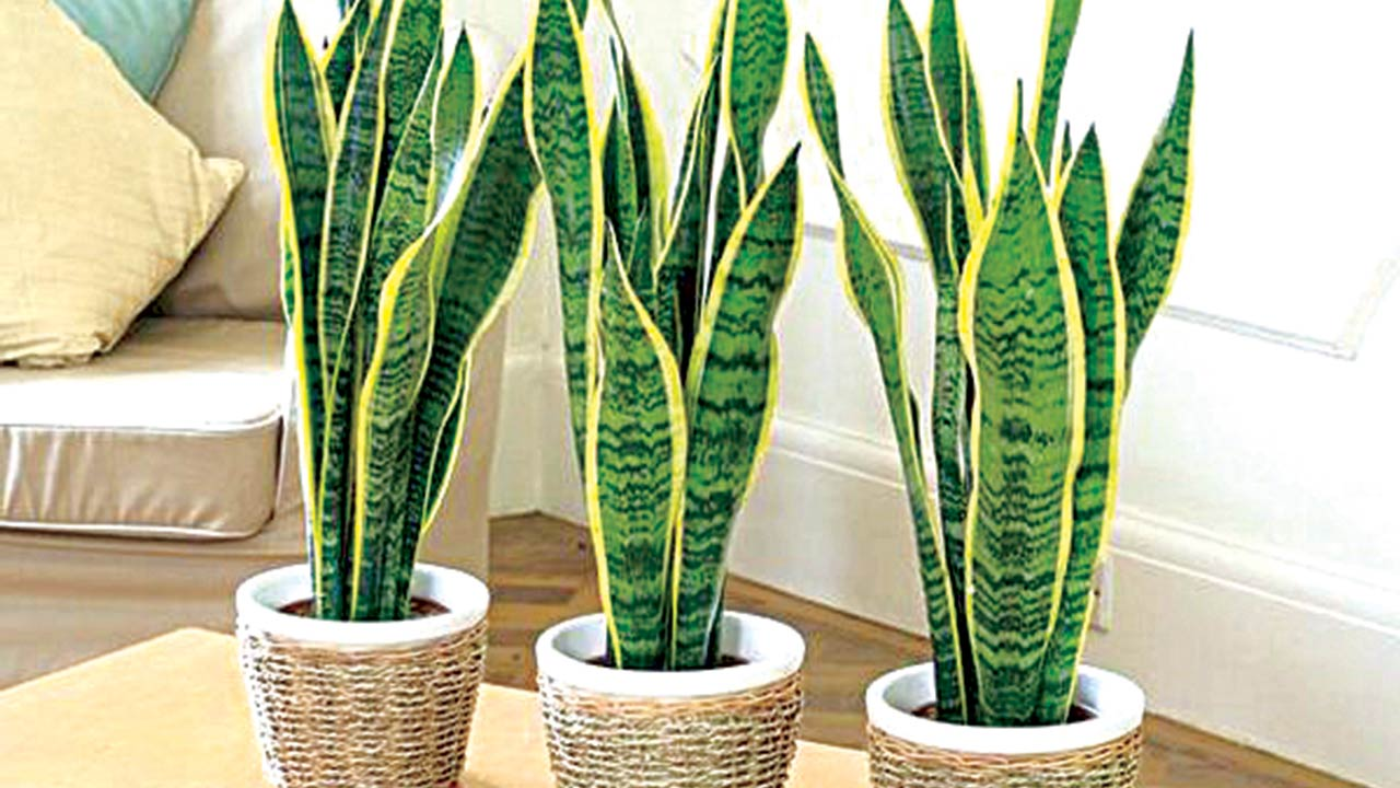 One of the best indoor low maintenance, air purifier and sculptural plants- mother-in-law's tongue' or 'snakeplant' (Sanseviera spp)