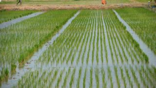 rice-cultivation