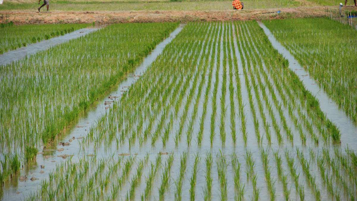 Adamawa: Government fails in rice farming — Features ...