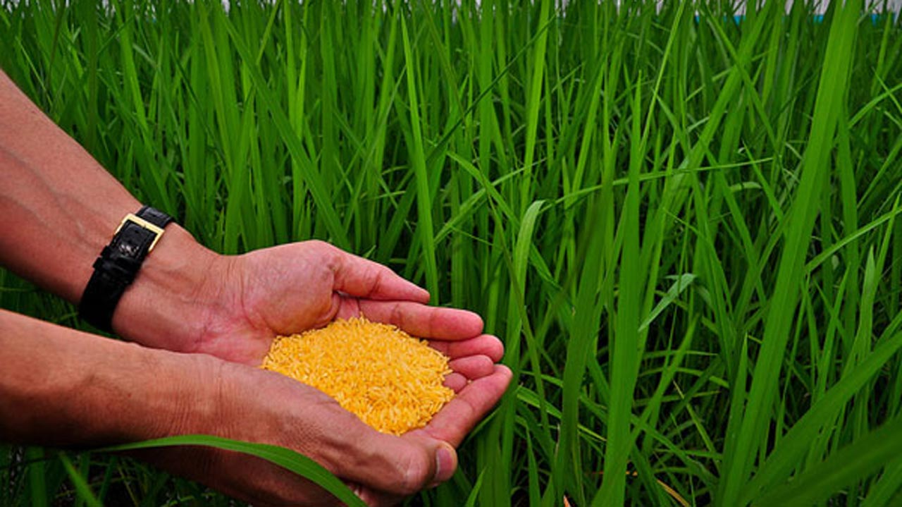 Genetically modified rice. PHOTO: irri.org