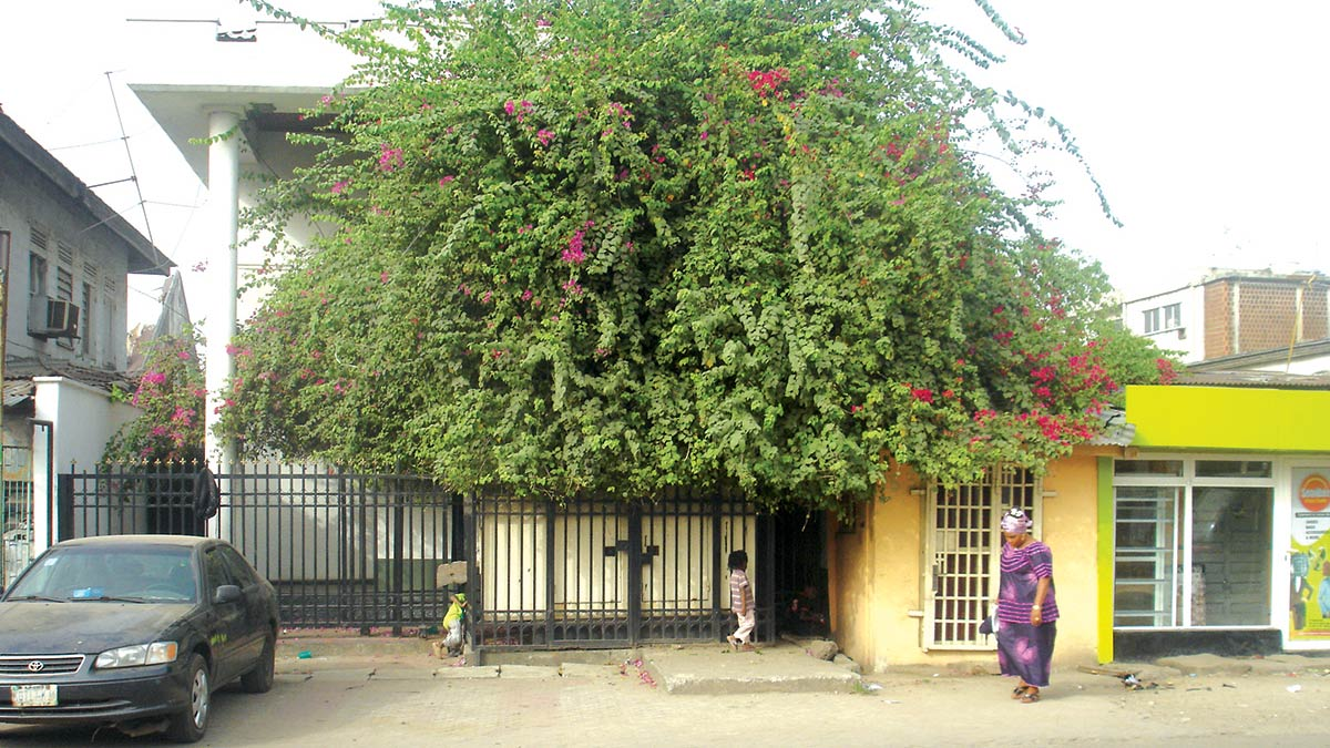 Living façade of city house created by foliage of bougainvillea vines, which acts as sunscreen.
