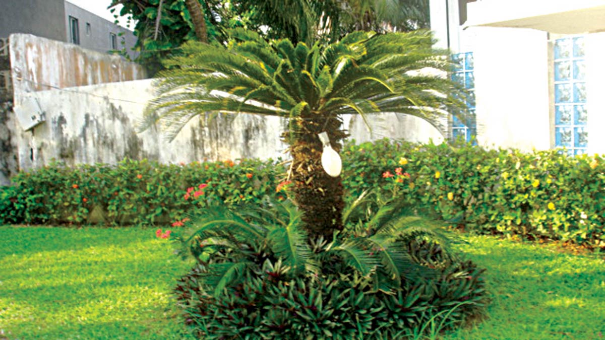 Structural Sago palm, lower growing Tradescantia spathacea provide focal point in minimalist low maintenance urban garden.