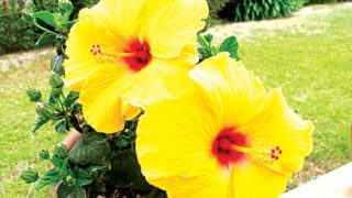 Potted yellow Hibiscus