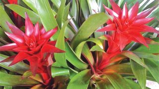 Bromelia balansae 'Red Heart'