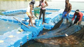 Harvesting of Floaters at the Choice Fisheries Consults Limited farm, Ikere Gorge Dam, Oyo State.