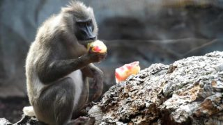 (FILES) This file photo taken on July 23, 2016 shows a baboon feasting on frozen food to beat the summer heat at the Bioparc zoo in Valencia. Baboons make sounds that are similar to the vowels a,e,i,o and u, researchers said on January 11, 2017, suggesting that some monkeys have had the physical capacity for language for millions of years. The findings in the journal PLOS ONE add a new dimension to the long-running debate over how language began and evolved, by showing that baboons possess a tongue and larynx that allow them to make a series of vowel-like sounds. JOSE JORDAN / AFP