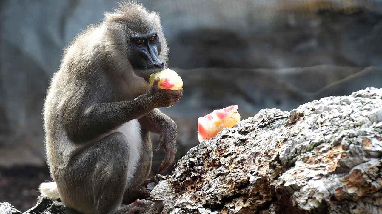 Baboons make vowel-like sounds, similar to humans