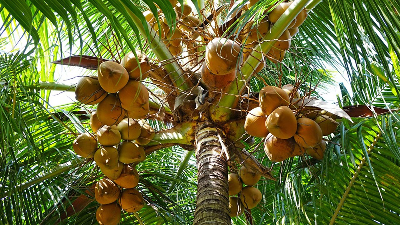 Coconut: Depletion of trees raises fear of extinction thumbnail
