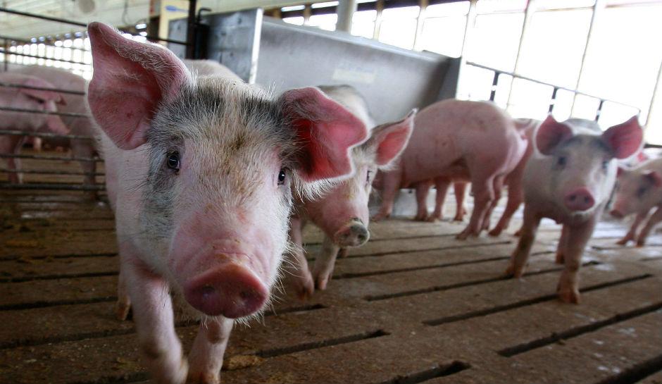 half-human-half-pig-embryos