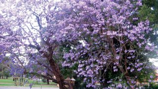 Jacaranda (J. mimosifolia) 'Dream Tree' in lavender colored blooms