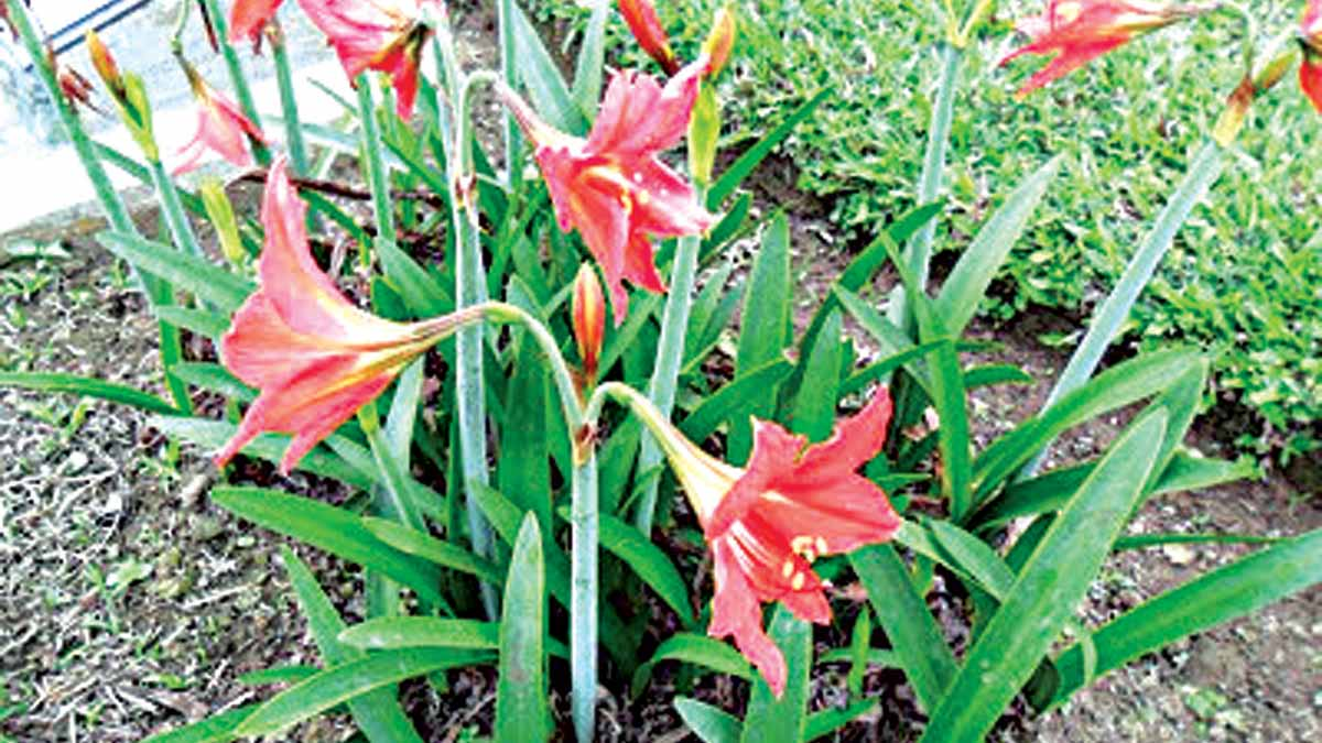 African Amaryllis (A. belladonna) lilies, the true Amaryllis with salmon colored blooms.