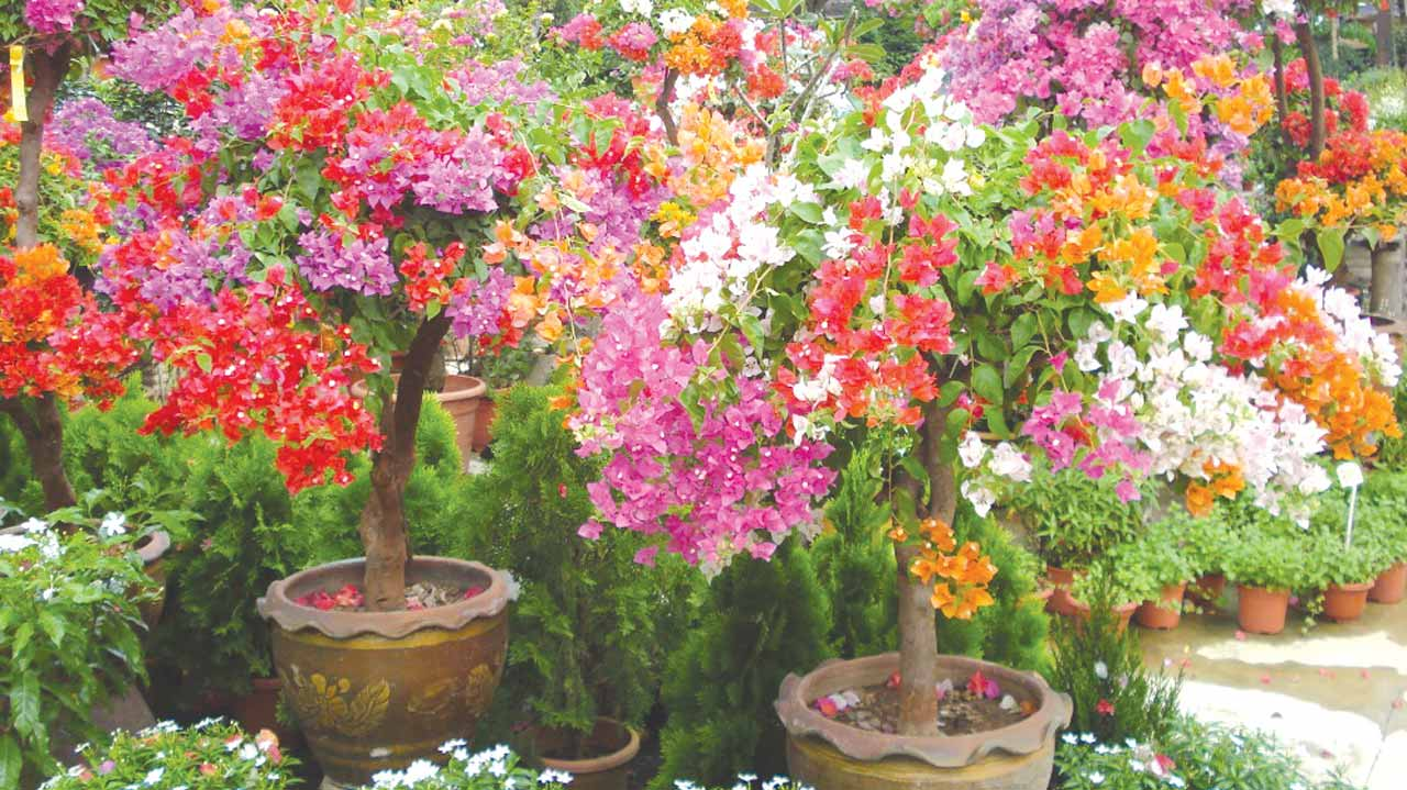 Potted Bougainvilla in mixed colors