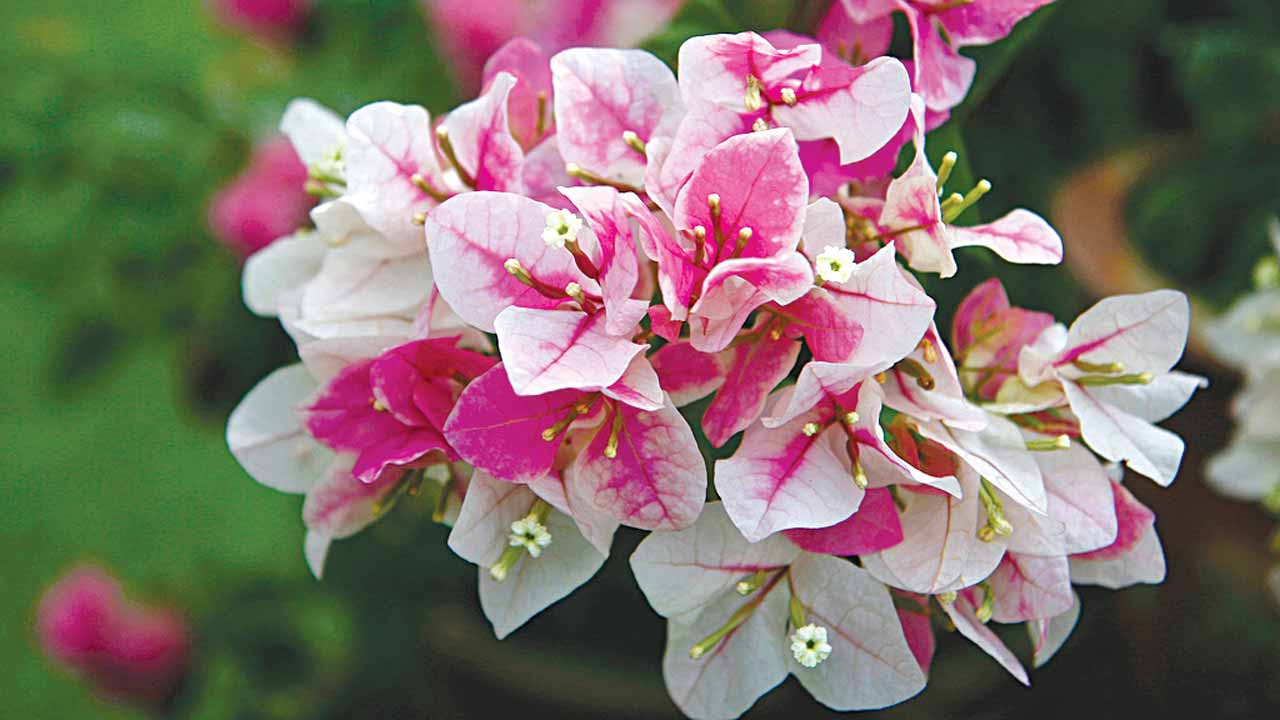 Bougainvilla bi-color in pink and white