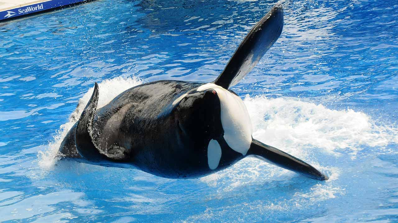 """This file photo taken on March 29, 2011 shows Killer whale """"Tilikum"""" during its performance in its show """"Believe"""" at Sea World in Orlando, Florida. Tilikum,an orca whale made famous by the US documentary """"Blackfish"""" died on January 6, 2017 at the age of 36, announced via a tweet at SeaWorld theme park located in Orlando, Florida. A cause of death had not been determined, though he was being treated for a persistent bacterial infection. GERARDO MORA / GETTY IMAGES NORTH AMERICA / AFP"""